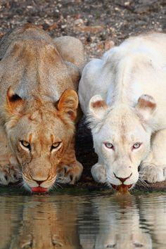 Two lionesses, one albino, take a drink from a water hole