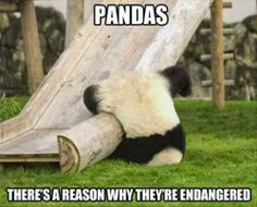 Pandas - there's a reason why the're endangered.    #funnypictures, #funnyanimals, #funnypanda - Visit http://funny-lover.com for more fun.