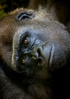 Lowland Gorilla by Alan Shapiro on Dian Fossey, Cute Baby Animals, Animals And Pets, Beautiful Creatures, Animals Beautiful, Regard Animal, Los Primates, Gorillas In The Mist, Silverback Gorilla