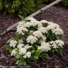 Lil' Ditty® - Witherod Viburnum - Viburnum cassinoides *COMPACT SHRUB - ALONG HOUSE OR UTILITY BOX BED*