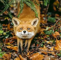 Red Fox by Woodcat