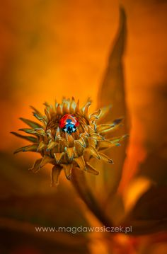 Golden Hour - ladybug on the Echinacea purpurea She's A Lady, Lady In Red, Macro Photography, Fine Art Photography, Weird Pictures, Macro Pictures, Exotic Flowers, Beautiful Flowers, Small World