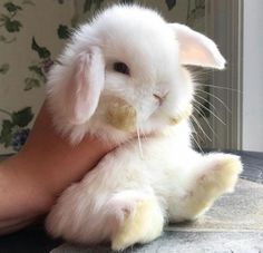 another bunny pic just bc- Rabbit Cute Baby Bunnies, Baby Animals Super Cute, Cute Little Animals, Cute Funny Animals, Lop Bunnies, Dwarf Bunnies, Baby Animals Pictures, Cute Animal Pictures, Fluffy Animals