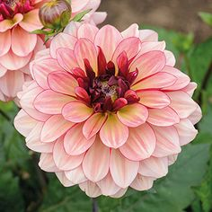 Dahlia Creme de Cognac, 6 tuber pack, save Large, creamy-caramel blooms, with hints and tones of rich raspberries and cranberries. Cut Flower Garden, Flower Garden Design, Flower Farm, Flower Shape, All Flowers, Flowers Nature, Colorful Flowers, Beautiful Flowers, Dalia Flower