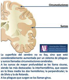 Ilustracion Neurociencias: Circunvoluciones y Surcos - Asociación Educar  Ciencias y Neurociencias aplicadas al Desarrollo Humano  www.asociacioneducar.com