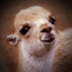 Baby lama (Artis) by Anja Brunt, via Flickr
