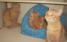 Meet Charlie, Finn, and Piper, a Petfinder adoptable Tabby - Orange Cat | Bartlett, TN | Meet our adorable brother trio! They are the funniest boys. They enjoy their time together but also...