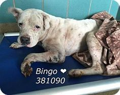 BRIAN aka BINGO STILL LISTED 7/12/16 NEEDS FOSTER OR RESCUE ASAP....6/28/16 SL! Pit Bull Terrier Mix Dog for adoption in New York, New York - Brian