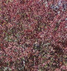 Prunus cerasifera 'Pissardii' - myrobalán třešňový