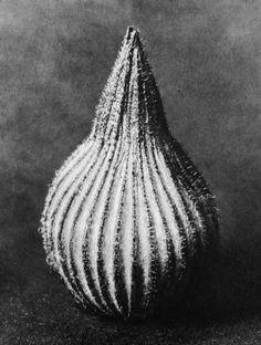 Silene conica, Conical silene, seed capsule, 20x