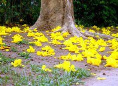 Flores Ipê Amarelo no chão é lindo  Ipe yellow flowers on the floor is beautiful!
