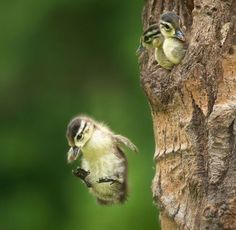 baby ducks in a tree - Google Search
