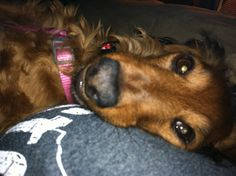 Mommies make great pillows :-) Mini Dachshund, Daschund, Miniature Dachshunds, Wiener Dogs, Chihuahua Mix, Snuggles, Wonders Of The World, Doggies, Pillows
