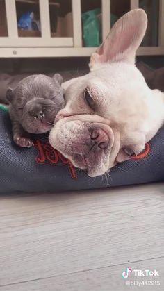 Cute Bulldog Puppies, Cute Bulldogs, Cute Baby Dogs, Funny Dog Jokes, Cute Funny Dogs, Cute Funny Animals, Cute Animal Videos, Cute Animal Pictures, Animal Humour