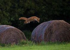 Fox Pouncing by Dale Sutton