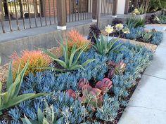 Drought tolerant succulent landscaping including Aeoniums, Agave, Aloe, Euphorbia, Kalanchoe, and Senecio.
