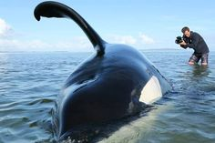 Video:  Orca rescued from sandbank.