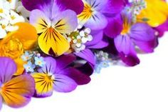 Viola flowers border Royalty Free Stock Image