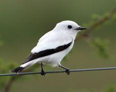 White Monjita; tyrant flycatcher family - found in Brazil, Paraguay, Bolivia, and Uruguay.