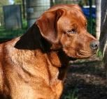 "Determine more relevant information on ""labrador pups"". Look at our internet site. English Labrador Puppies, Labrador Breeders, Labrador Puppies For Sale, Lab Puppies, Dogs Golden Retriever, Labrador Retrievers, Retriever Dog, Golden Retrievers, Fox Red Labrador"