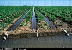 Agriculture - Irrigation, canal and furrow irrigation of processing tomato field / Yolo County