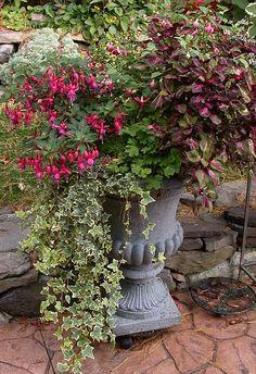 Abutilon / Plectranthus / Alyssum / Coleus in container...Deanne's garden