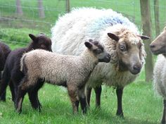 Shetland babies and their mom. Sheep Breeds, Sheep Dogs, Shetland Wool, Sheep And Lamb, Farm Animals, Goats, Lambs, Type 3, Theater