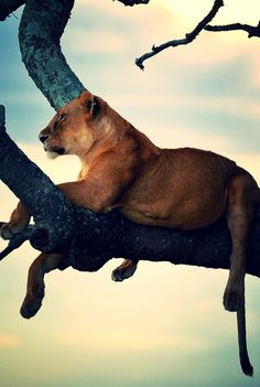 ^Watching the sunset lioness - Explore the World with Travel Nerd Nici, one Country at a Time. http://TravelNerdNici.com