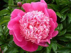 http://www.peonies.org/index.shtml Heartland Peony Society-Lots of answers to FAQs.
