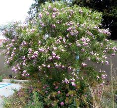 Desert willow, Chilopsis linearis is a large deciduous shrub or small tree, usually15 foot or so. Its willow-like, long, narrow leaves and growth along desert washes give the desert willow its name. The Penstemon-like flowers are fragrant, pink to lavender. They appear in May and keep coming until September or frost. Native near waterways in Mojave and Colorado deserts. Likes moderate water and sun. Does best inland and in desert.
