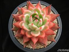 https://flic.kr/p/buL1kM | Echeveria agavoides hyb. | Looks a bit like the variety 'Frank Reinelt' but it's different in its shape and coloration of leaves.  Still a pretty clone!
