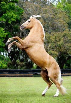 Colombian Trote y Galope stallion, Bolero de Sierra Morena. The only palomino Trote y Galope Paso stallion in the US. photo: Cheri Prill.