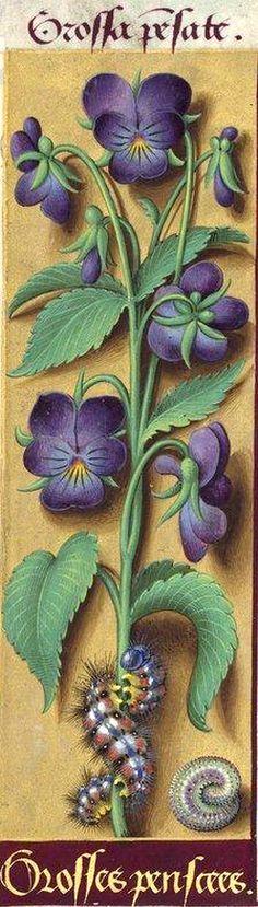 Grosses penscees - Grossa pensate (Viola tricolor L. var. hortensis = pensées violettes cultivées) -- Grandes Heures d'Anne de Bretagne, BNF, Ms Latin 9474, 1503-1508, f°157v