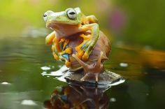 Hitching a Ride via mirror.com. Image credit Caters #Japanese_Tree_Frog #Snail