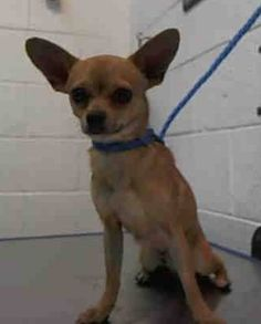 ADOPTED --- TACO (A1674561) I am a male tan Chihuahua - Smooth Coated.  The shelter staff think I am about 1 year old and I weigh 6 pounds.  I was found as a stray and I may be available for adoption on 01/27/2015. — hier: Miami Dade County Animal Services. https://www.facebook.com/urgentdogsofmiami/photos/pb.191859757515102.-2207520000.1422133730./915309955170075/?type=3&theater