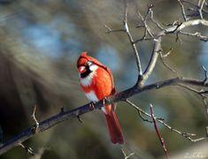 Piebald Cardinal- So Pretty :)