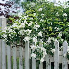 Mock Orange -his easy-growing shrub produces pure-white blooms you can smell from feet away.