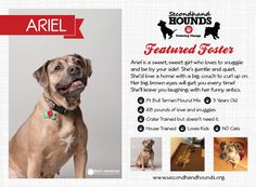 Ariel was rescued from the Euth list at Minneapolis Animal Care and Control.  Since she is a bully breed mix, she can't be adopted out the general public. Her owners dumped her at the shelter after she miscarried a litter. Gratefully, Secondhand Hounds stepped in and rescued this girl.    She's a sweet lover that is looking for her forever home.