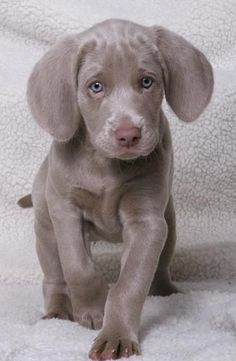 This Weimaraner puppy is just too cute!