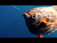 Researchers Find First Warm Blooded Fish - YouTube
