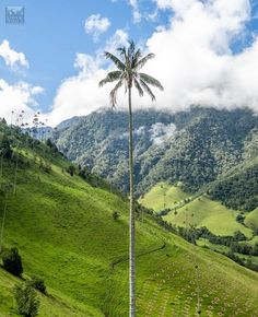 The wax palm is the national symbol of Colombia! 🇨🇴 What symbolizes your country? Visit Colombia, National Symbols, How To Take Photos, Palm Trees, South America, The Good Place, Tourism, The Incredibles, Island