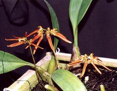 Bulbophyllum nodosum