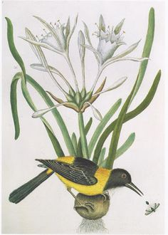 Mark Catesby - The Yellow and Black Pye ( Troupial)
