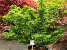 Acer palmatum 'O jishi'