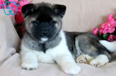 Look at this beautiful Akita puppy! She has an amazing spirit about her that will surely make you fall in love. This baby doll loves attention, is well Akita Puppies For Sale, Cute Puppies, Dogs And Puppies, Pretty Animals, Cute Animals, Baby Animals, Puppy Care, Dog Care, Cute Puppy Pictures