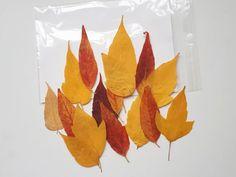 Real Fall Acer Negundo Leaves Yellow Leaves Pressed Leaves | Etsy Pressed Leaves, Dry Leaf, Yellow Leaves, Plant Art, Sunset Sky, Acer, Art Techniques, Autumn Leaves, Decoupage