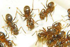 Veneno casero para eliminar las hormigas de la casa. Cómo hacer un veneno casero para las hormigas. Combate las hormigas con una receta casera