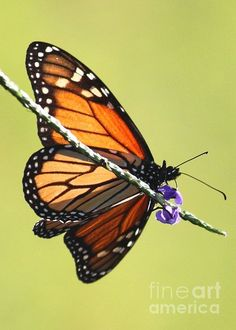 Monarch on Porterweed by Carol Groenen