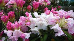 """Yak """"Fawcett Form"""" Rhododendron  Photo by Jan R.Fuller"""