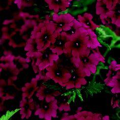 Superbena® Burgundy - Verbena hybrid by Proven Winners